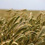 Минсельхоз подтвердил прогноз в 100 млн тонн урожая зерновых