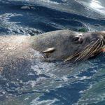 Сбежавшего из дельфинария Анапы морского котика нашли в Грузии
